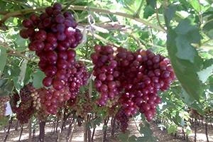 هيئة دعم الصادرات تحول أكثر من 25 مليون ليرة قيمة عقود شراء العنب للشركة السورية