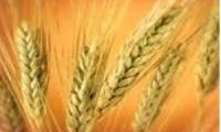 مؤسسة الحبوب تعتزم بيع 50 ألف طن من القمح القاسي