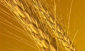 297 مليون ليرة قيم دعم المحاصيل الزراعية بحماة