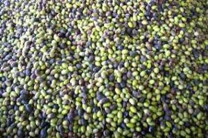 انخفاض إنتاج الزيتون في درعا..والأسباب ارتفاع أسعار مستلزمات الإنتاج