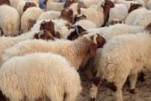 جمعية اللحامين: انخفاض الطلب على أضاحي العيد