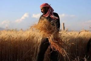 الغاب: زراعة 40 ألف هكتار بالقمح و4615 هكتاراً بمحاصيل أخرى