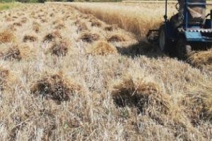 موسم قمح مبشّر في اللاذقية: استنفار للحصاد وتسهيلات للمزارعين