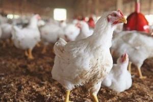 سوريا: أسباب انخفاض سعر الفروج.. وتوقعات بهبوط في أسعار البيض