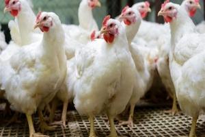 لجنة مربي الدواجن: انخفاض أسعار الفروج والبيض خلال الفترة القادمة!!