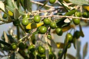 نحو 74 ألف طن توقعات إنتاج الزيتون بحماة.. والزراعة: إنتاج هذا العام ليس جيداً