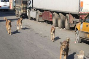 محافظة دمشق: قتل 61 كلبا خلال شهر... ولا صحة لنقلهم مرض اللاشمانيا