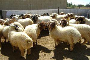 تراجع الثروة الحيوانية في سورية بنسبة 23% للأغنام و25 % للأبقار و21 % للماعز