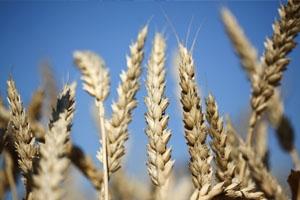 تفاؤل في الأسواق العالمية بشأن أسعار القمح بسبب وفرة موسم الحصاد