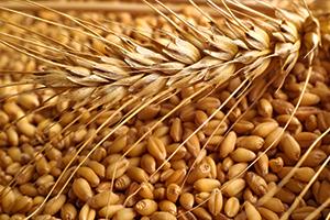 سورية تزرع أكثر من   1.3 مليون هكتار  من القمح