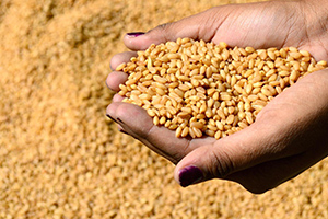 239  الف طن إنتاج سورية من القمح لغاية الآن