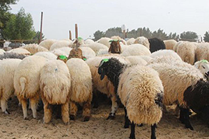 أضحية العيد فوق 110 آلالاف ليرة.. توقعات بإرتفاع أسعار الأضاحي في سورية خلال أيام