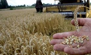 مصادر: المغرب تفكر في إلغاء الرسوم على واردات القمح اللين مؤقتاً
