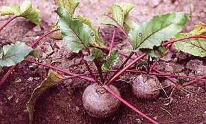 الشمندر السكري يعود إلى البقاع.. والطن 175 ألف ليرة مع تحديد سقف زراعته بـ50 دونماً