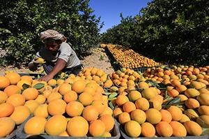 نحو 65 ألف عائلة تعمل بزراعة الحمضيات تطالب بتسويق المحصول