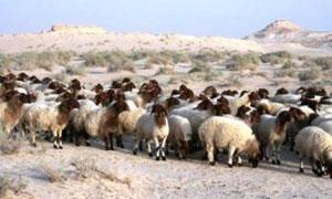 الزراعة: مجلس الوزراء لم يصدر بعد القرار الخاص بتصدير ذكور الأغنام