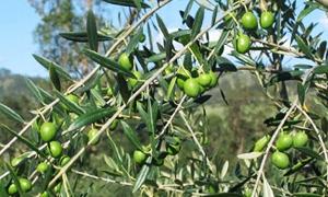 تراجع إنتاج الزيتون في طرطوس إلى نحو 20 ألف طن الموسم الحالي