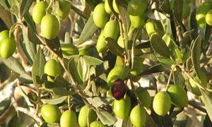 الزراعة تتوقع إنتاج مليون طن من ثمار الزيتون خلال الموسم الحالي
