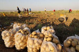 الفلاح السوري يخسر 90 ليرة في كيلو البطاطا!