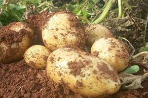 سورية تبدأ بإنتاج بذار البطاطا بطاقة إنتاجية 200 طن