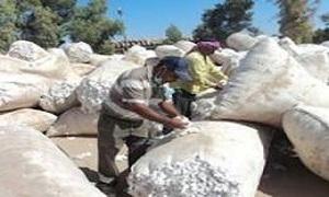 نحو 305 أطنان إنتاج حماة من القطن للموسم الحالي