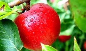 100 ألف طن إنتاج ريف دمشق  المتوقع من التفاح هذا العام