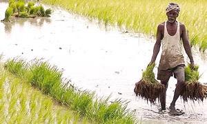 الفاو: توقعات بانخفاض إنتاج الأرز عالمياً في 2012