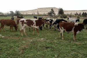 في ريف دمشق.. الجمارك تضبط 160 بقرة أجنبية مهربة!
