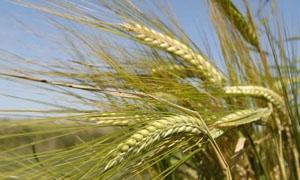 الزراعة: التقديرات الأولية تشير إلى إنتاج 800 ألف طن من الشعير