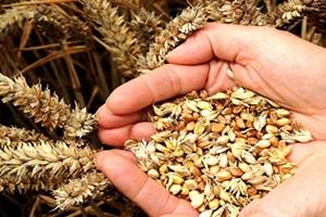 اتحاد غرف الزارعة السورية: على الحكومة رفع سعر شراء الشعير من المزارعين