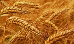 مؤسسة الحبوب السورية تشتري 200 ألف من القمح الروسي