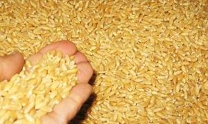 مؤسسة البذار بدرعا توزع 750 طنا من القمح المغربل والمعقم على الفلاحين