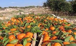 تسويق450 طنا من الحمضيات والزيتون إلى مؤسسة الخزن والتسويق بحمص