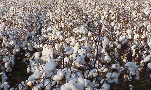 تراجع إنتاج سورية من القطن 85 بالمئة .. وخسائر توقف التصدير تتجاوز الـ5 مليارات ليرة
