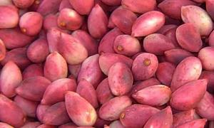 وزارة الزراعة: توزيع 100 ألف غرسة فستق حلبي ضمن خطة عام 2014