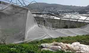 اللاذقية:520 مليون ليرة قيمة أضرار المحاصيل الزراعية..وصرف التعويض منتصف الشهر القادم