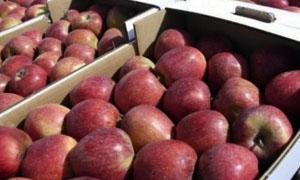 السويداء: تسويق اكثر من 680 طنا من التفاح بالجمعية التعاونية للخضار والفواكه