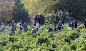 نحو 3 آلاف عامل سوري يدخلون سوق العمل الزراعي الأردني..مسؤول: العمالة السورية أنقذت الموسم الزراعي الأردني الحالي