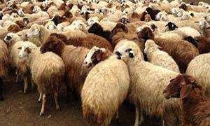 الاقتصاد تسمح بتصدير 4000 رأس من ذكور الغنم العواس أسبوعياً