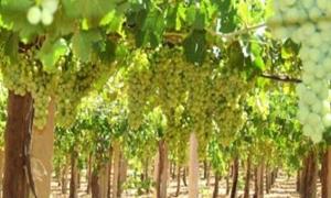زراعة حماة تتوقع إنتاج أكثر من 34ألف طن من العنب الموسم الحالي