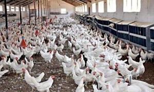 167 مليون ليرة لانعاش قطاع الدواجن في سورية..خضر:نخطط لإنتاج 215 مليون بيضة و1.4 مليون فروج العام الحالي