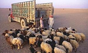 تهريب 1800 رأس ماشية من تل تمر إلى تركيا