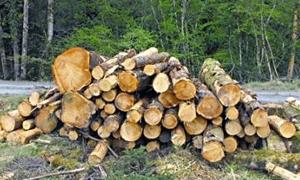 2577 طنـاً من الأخشاب الصناعية إنتـاج غابات اللاذقية