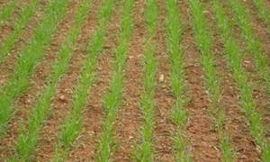 زراعة 81 هكتاراً بالشعير في حماة
