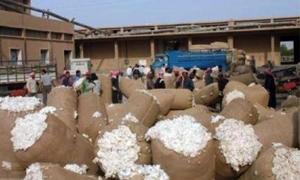 وزارة الزراعة: دعم محصول القطن وفق المساحة والتناسب بين الإنتاج المسوّق والمتوقع