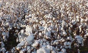 وزارة الزراعة: محصول القطن بخير ولم يتعرض لأي إصابات فطرية او مرضية