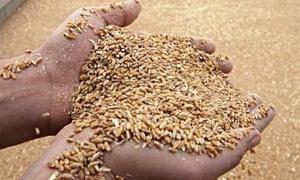 مصادرة 31 طنا من القمح هذا الأسبوع في السويداء....و42 طناً الشهر الماضي