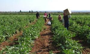 مديرية زراعة السويداء: 2500 فرص عمل موسمية خلال النصف الأول من العام