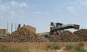 مؤسسة السكر: خطتنا لتصنيع 1.4 مليـون طن مـن الشوندر السكري العام القادم