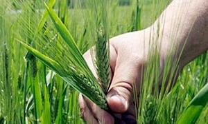 وزارة الزراعة: محصول القمح جيد والمساحة المزروعة بلغت 1.3 مليون هكتاراً